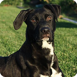 Labrador Retriever/Pit Bull Terrier Mix Dog for adoption in Stockton, California - Beau
