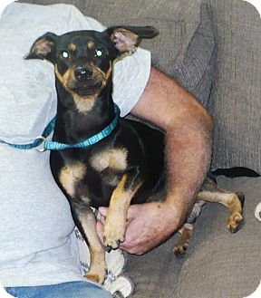 Dachshund Mix Dog for adoption in Eastpoint, Florida - Dino