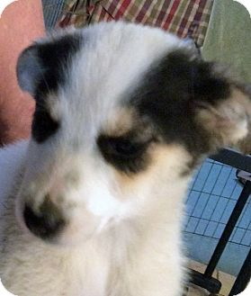 Terrier (Unknown Type, Small) Mix Puppy for adoption in Poway, California - Snowflake Girl Puppies