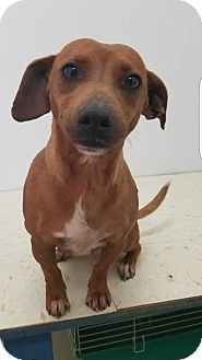Dachshund Mix Dog for adoption in Pompton Lakes, New Jersey - Winnie