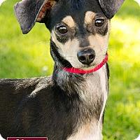 Adopt A Pet :: Titi - Marina del Rey, CA