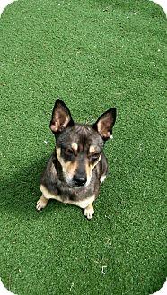 Miniature Pinscher Mix Dog for adoption in Hainesville, Illinois - Freya
