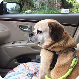 Pug/Beagle Mix Dog for adoption in Bellingham, Washington - Clark