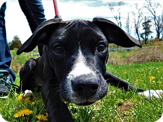 Labrador Retriever/Staffordshire Bull Terrier Mix Puppy for adoption in Lafayette, New Jersey - Bella