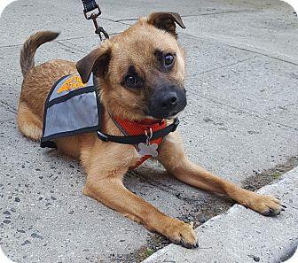 German Shepherd Dog/Chihuahua Mix Dog for adoption in Cranford, New Jersey - Romeo