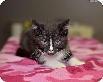 Domestic Shorthair Kitten for adoption in Medina, Ohio - Lark