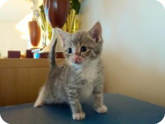 Domestic Shorthair Kitten for adoption in Marlton, New Jersey - Missy