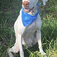 Adopt A Pet :: JULIE - Fort Pierce, FL