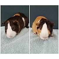 Adopt A Pet :: Bryan & Ryan - Hazel Park, MI