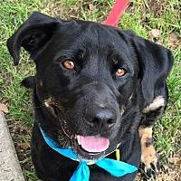 Adopt A Pet :: Murphy *Adopt or Foster* - Fairfax, VA