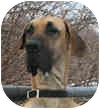 Great Dane Dog for adoption in Pearl River, New York - EASABELL