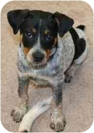 Beagle/Jack Russell Terrier Mix Puppy for adoption in salisbury, North Carolina - Angel Baby