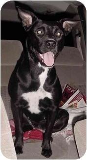 Labrador Retriever/Boxer Mix Dog for adoption in Houston, Texas - Maggy