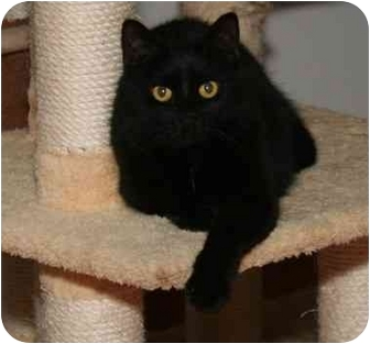 Domestic Shorthair Cat for adoption in Cincinnati, Ohio - Tovah