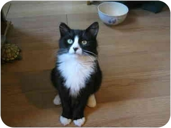 Domestic Shorthair Cat for adoption in Bayonne, New Jersey - Chester