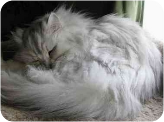 Persian Cat for adoption in Davis, California - Sylvester (Sly)