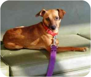 Chihuahua/Rat Terrier Mix Dog for adoption in Radford, Virginia - Riley