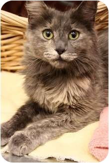 Domestic Mediumhair Cat for adoption in Mission Viejo, California - Scarlet