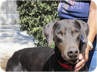 Doberman Pinscher Dog for adoption in Fairfield, Texas - Hank  (Referral Dog)