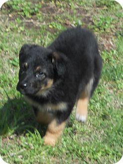 Shepherd (Unknown Type) Mix Puppy for adoption in Austin, Arkansas - Riley