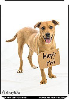 Labrador Retriever/Retriever (Unknown Type) Mix Dog for adoption in Franklin, Virginia - Beethoven