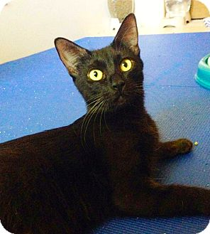 Domestic Shorthair Cat for adoption in Phoenix, Arizona - Chloe