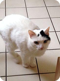 Domestic Shorthair Cat for adoption in Carlisle, Pennsylvania - Peaches (CP)
