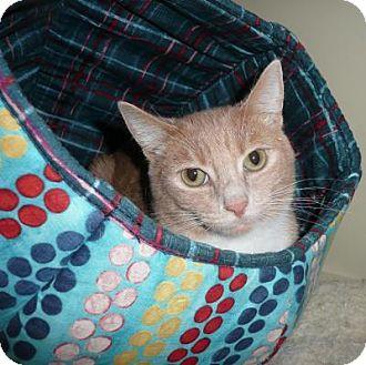 Domestic Shorthair Cat for adoption in Seattle c/o Kingston 98346/ Washington State, Washington - Ginger Marlin