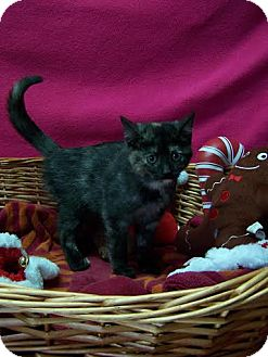 Domestic Shorthair Cat for adoption in China, Michigan - Ida