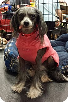 Chinese Crested Dog for adoption in Alexis, North Carolina - Willow