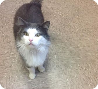 Domestic Longhair Cat for adoption in Byron Center, Michigan - Gizmo