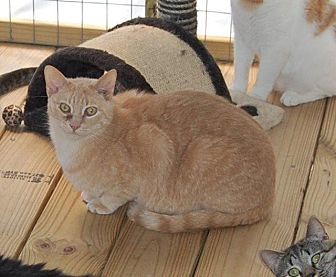 Domestic Shorthair Cat for adoption in Brainardsville, New York - Coolie