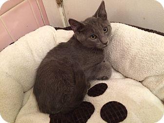 Russian Blue Kitten for adoption in Metairie, Louisiana - Mikhail