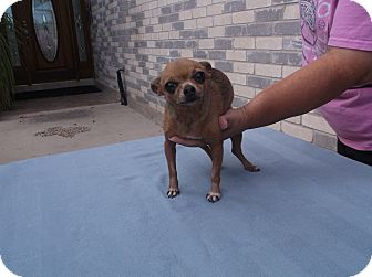 Chihuahua Dog for adoption in San Antonio, Texas - Candy Apple