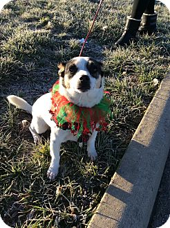 Jack Russell Terrier/Corgi Mix Dog for adoption in Cincinnati, Ohio - Skylar