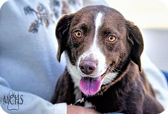 Beagle/Australian Shepherd Mix Dog for adoption in Martinsville, Indiana - Bonnie