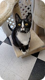 Domestic Shorthair Kitten for adoption in Austintown, Ohio - Mickey