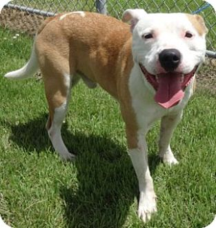 American Pit Bull Terrier Mix Dog for adoption in Olive Branch, Mississippi - Vinny