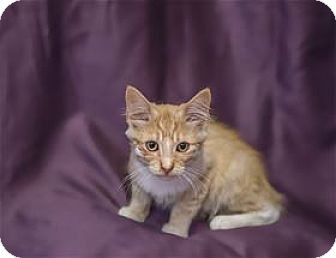 Domestic Mediumhair Kitten for adoption in Lincoln, California - Sycamore
