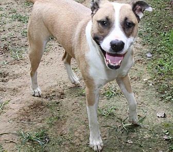 Pit Bull Terrier Dog for adoption in Rossville, Tennessee - Huggs
