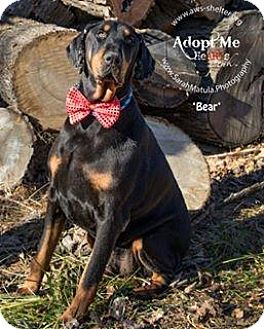 Doberman Pinscher Mix Dog for adoption in New Milford, Connecticut - Bear