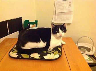 Domestic Shorthair Cat for adoption in Hampton, Virginia - Zorro (Courtesy Listing)