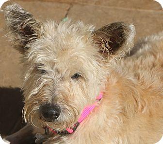 Schnauzer (Standard)/Irish Terrier Mix Dog for adoption in Allentown, Pennsylvania - Dixie Belle