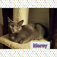 Russian Blue Cat for adoption in North Richland Hills, Texas - Mercy
