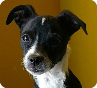 Rat Terrier Mix Puppy for adoption in San Diego, California - Tomato