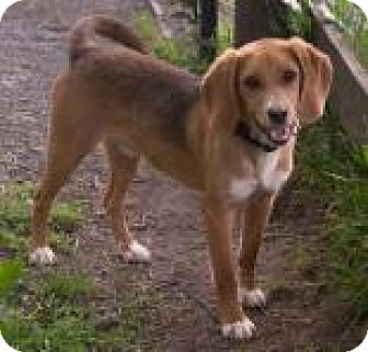 Beagle Mix Dog for adoption in Fairfax, Virginia - Levi