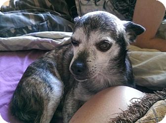 Chihuahua Mix Dog for adoption in Blackstock, Ontario - Sparky