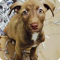 Adopt A Pet :: Sugar Bear - Atlanta, GA
