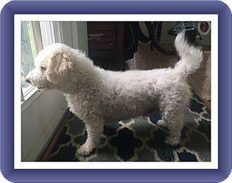 Bichon Frise Mix Dog for adoption in Tulsa, Oklahoma - Mason - VA