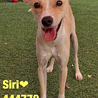Adopt A Pet :: SIRI - San Antonio, TX
